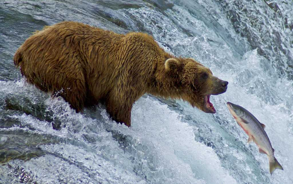 Bear-catching-fish-1024x645