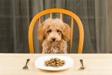 Poodle-puppy-with-a-plate-of-kibbles.jpg